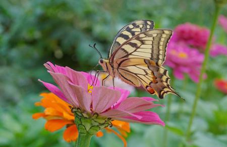 machaon: Papilio Machaon butterfly on zinnia flower in garden Stock Photo