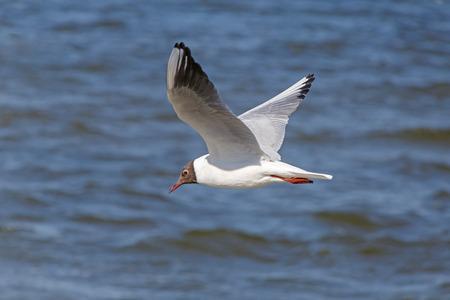 ridibundus: black-headed gull flying above river