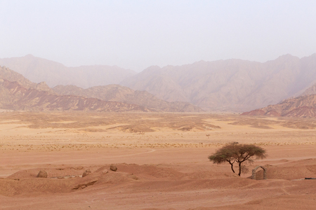 sinai peninsula: landscape with acacia tree in mountains on Sinai peninsula