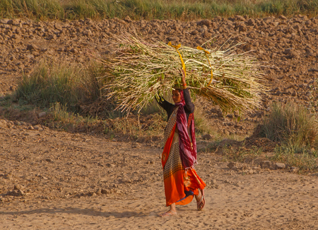 RAJASTHAN, INDIA - MARCH 16, 2018: Indian woman working on field in Rajasthan, India