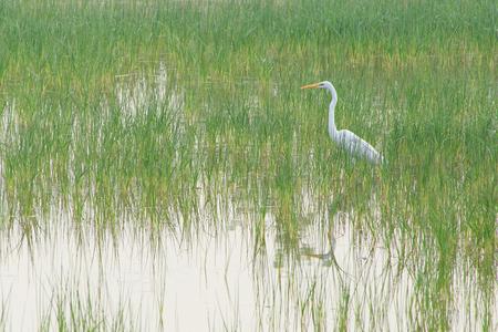 intermediate egret standing in lake in India 版權商用圖片