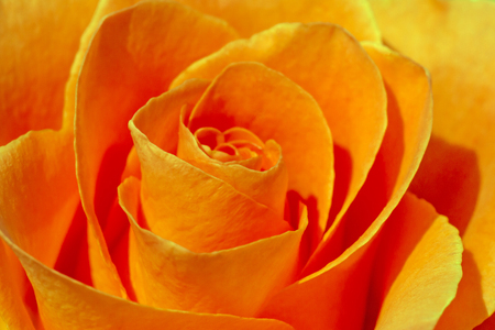close up of golden colored rose flower Stock Photo