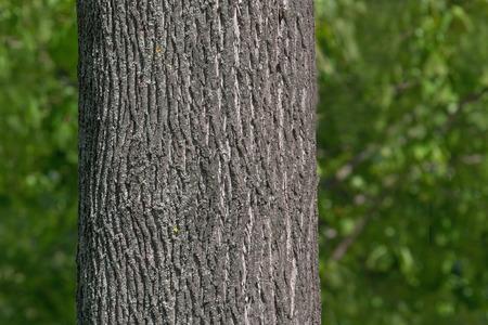 Nahaufnahme von Ahornbaumstamm im Park im Sommer?