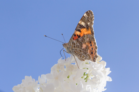 brown butterfly sitting on white lilac against blue sky Archivio Fotografico - 123281188