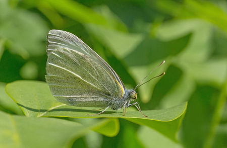 cabbage butterfly sitting on green leaf of lilac bush Archivio Fotografico - 123281194