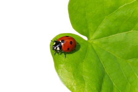 ladybug sitting on green leaf isolated on white background Stockfoto