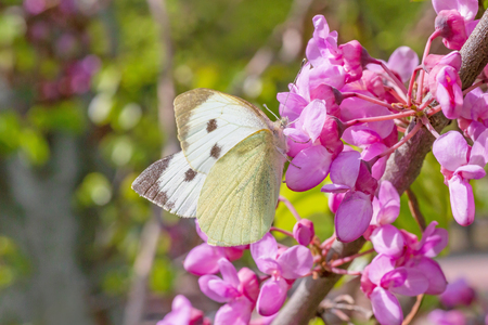 white cabbage butterfly sitting on pink acacia blossoming at spring Zdjęcie Seryjne