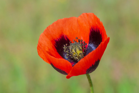 close up of red poppy flower against green grass Imagens