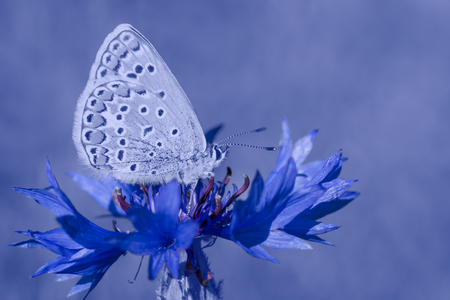 close up of lycaenidae butterfly sitting on cornflower