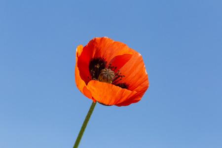 red poppy flower against blue sky Imagens