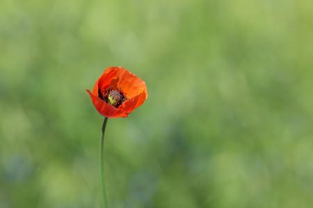 red poppy flower against green grass background Imagens