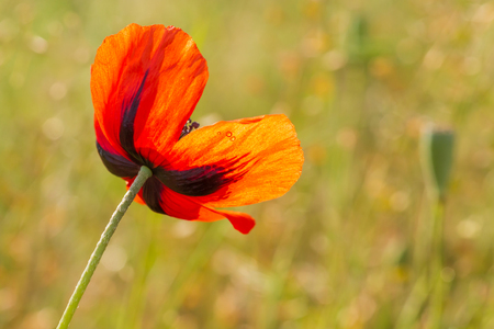close up of red poppy flower on a meadow