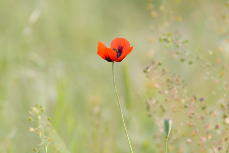view on red poppy flower on meadow