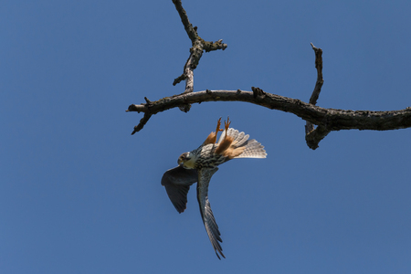 close up of falcon flying off dry branch against blue sky