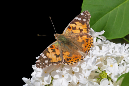 Silver-washed Fritillary butterfly sitting on white lilac blossoming isolated on black