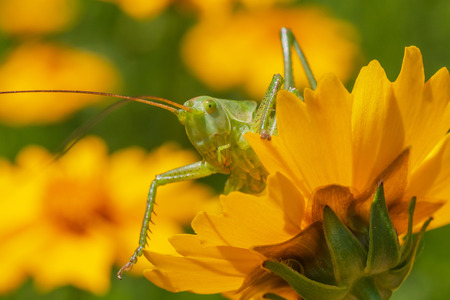 close up of green grasshopper looking out from yellow flower in garden