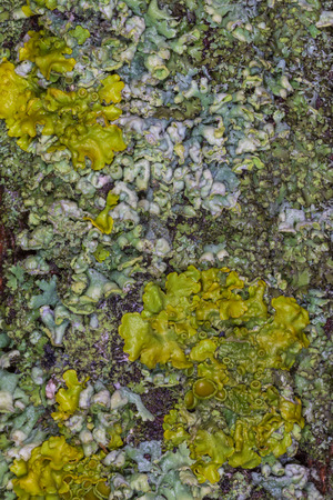 abstract natural background: close up of lichen on tree
