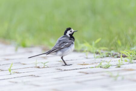 close up of wagtail standing on road Stock Photo