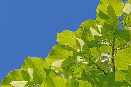 green linden tree leaves against blue sky Archivio Fotografico