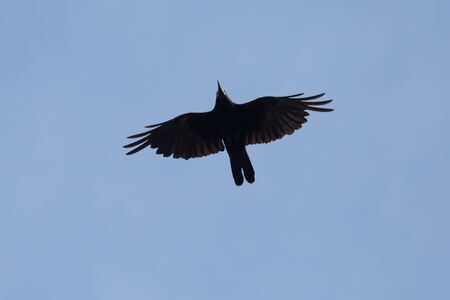 close up of rook flying in a blue sky