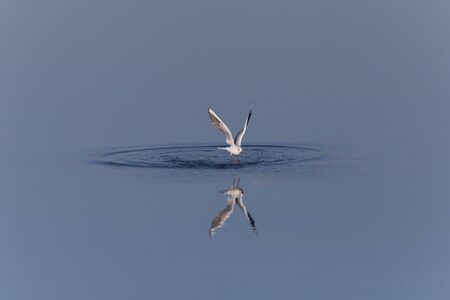 rings on calm blue water made by flying off gull