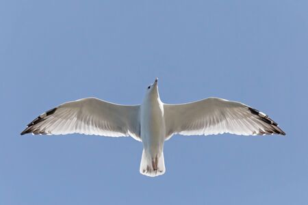 close up of herring gull flying in blue sky with open wings