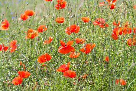 view on red poppies flowers on meadow