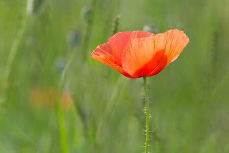 red poppy flower in green grass on meadow 版權商用圖片