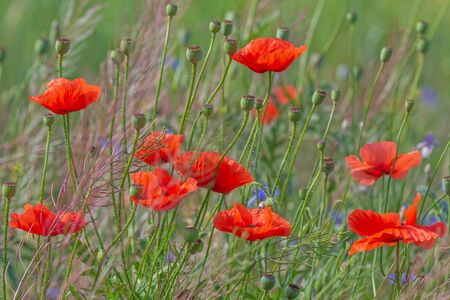 red poppies flowers in grass on meadow