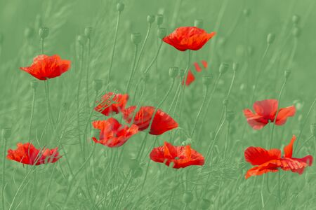 red poppies flowers against green background