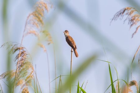 great reed warbler sitting on dry reed Banco de Imagens