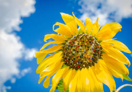 Colorful sunflower with colored seeds photo