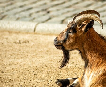 The horned and bearded goat quietly rests on a Sunny summer day lying on the gravel