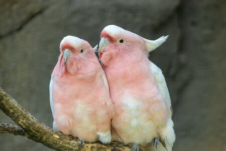 Two lovers parrot white and pink colors sitting on a branch and cooing