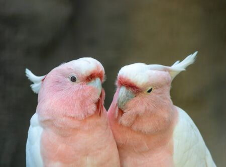 Lovely couple of cockatoos. Two lovers parrot white and pink colors sitting on a branch and cooing