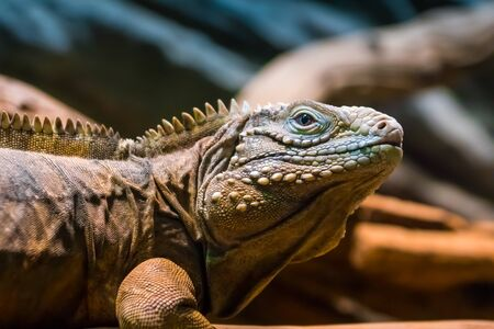 Portrait of an iguana in its natural habitat. Photo from a close distance on the background of the tree trunk.