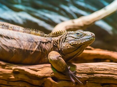 Portrait of an iguana sitting on a tree in its natural habitat. Photo with close distances