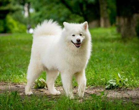 Big dog Husky, Samoyed at the park. Natural green background.
