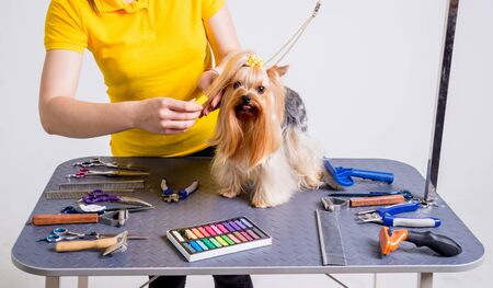 Professional cares for a dog in a specialized salon. Groomers holding tools at the hands. White background