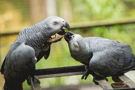 Parrots fighting for the food. Zoo, tropical reserve. Background