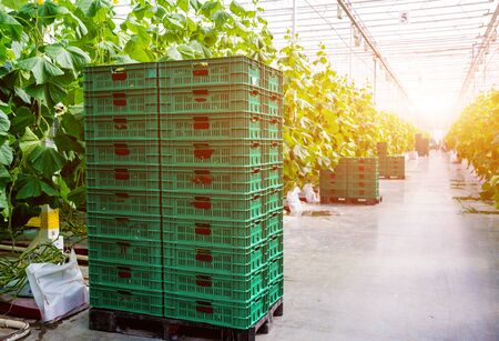 Rows of cucumbers grown in a greenhouse.