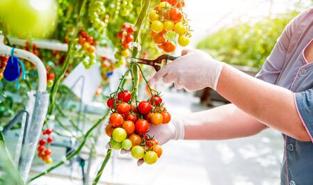 Farmers hands with freshly harvested tomatoes. Woman hands holding tomatoes. Greenhouse. Background