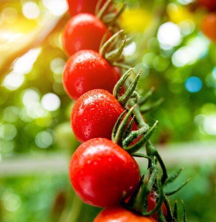 Beautiful red ripe tomatoes grown in a greenhouse. Beautiful background Zdjęcie Seryjne