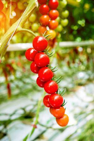 Beautiful red ripe tomatoes grown in a greenhouse. Beautiful background 版權商用圖片