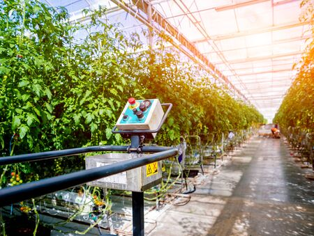Modern greenhouse with tomato plants. Beautiful agricultural background