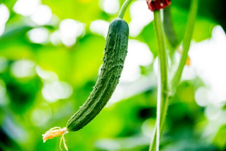 Long green cucumbers on a branch in a greenhouse