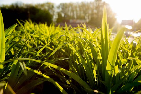 The grass in the sunlight. Light summer background. Standard-Bild