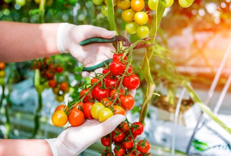Farmers hands with freshly harvested tomatoes. Woman hands holding tomatoes. Standard-Bild