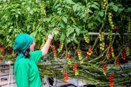 Farmers hands with freshly harvested tomatoes. Woman hands holding tomatoes. Banque d'images