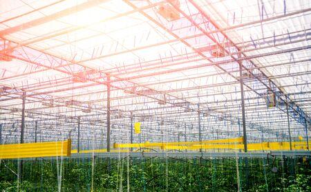 Rows of plants growing inside big industrial greenhouse. Фото со стока